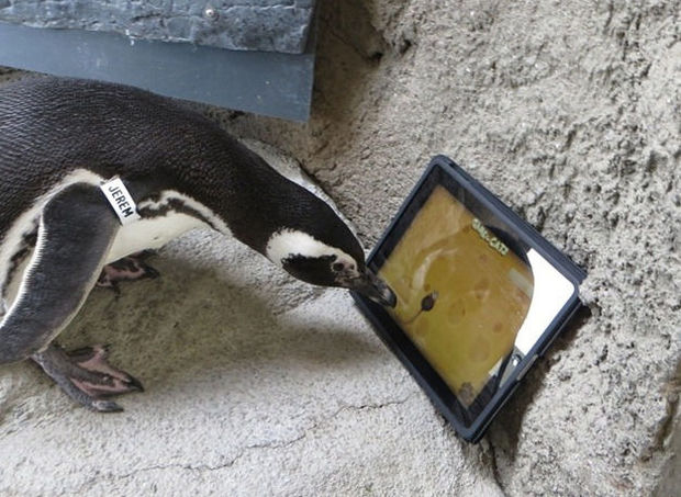 Pinguïns vangen virtuele muizen op iPad (video)